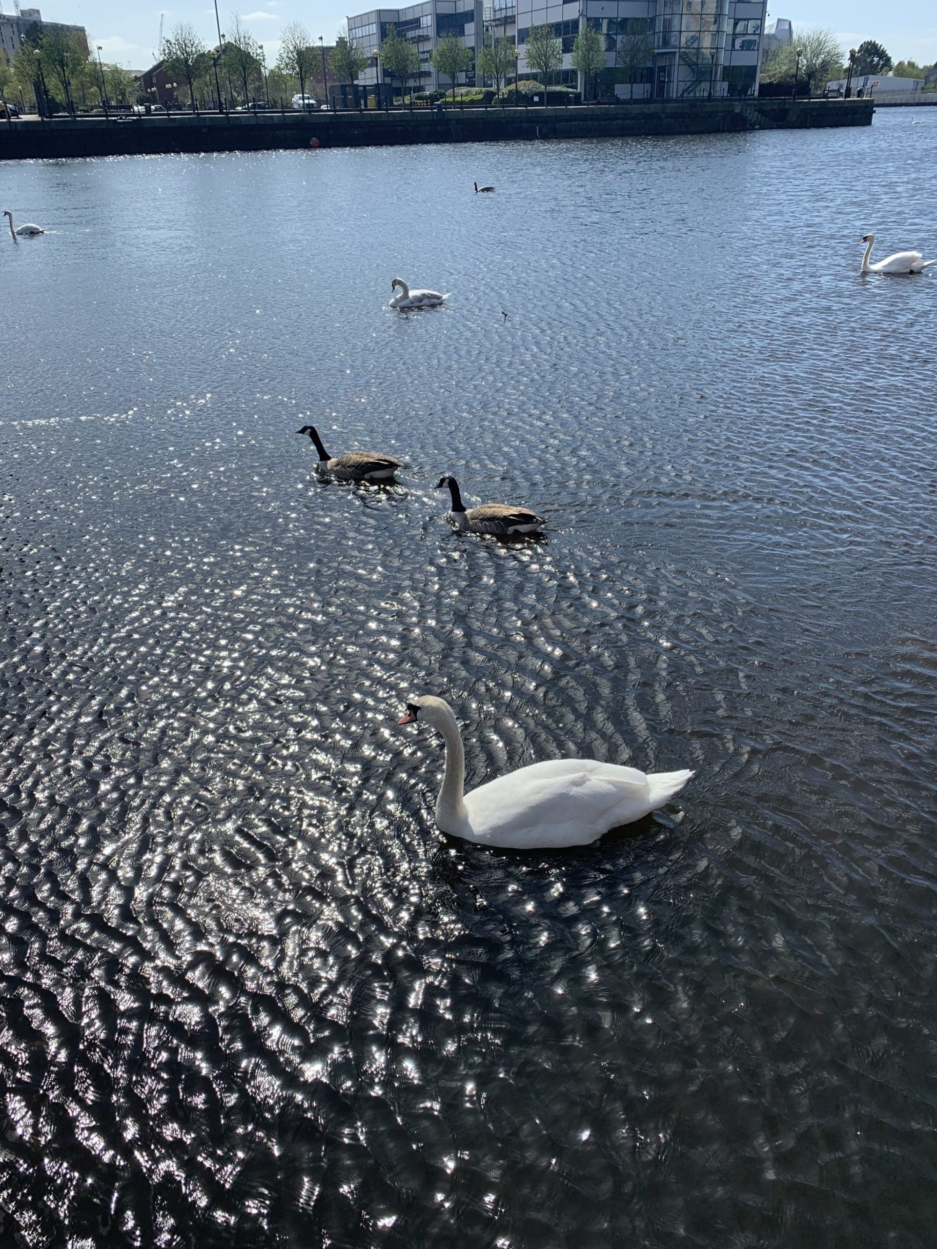 salford quays waterfront swans geese