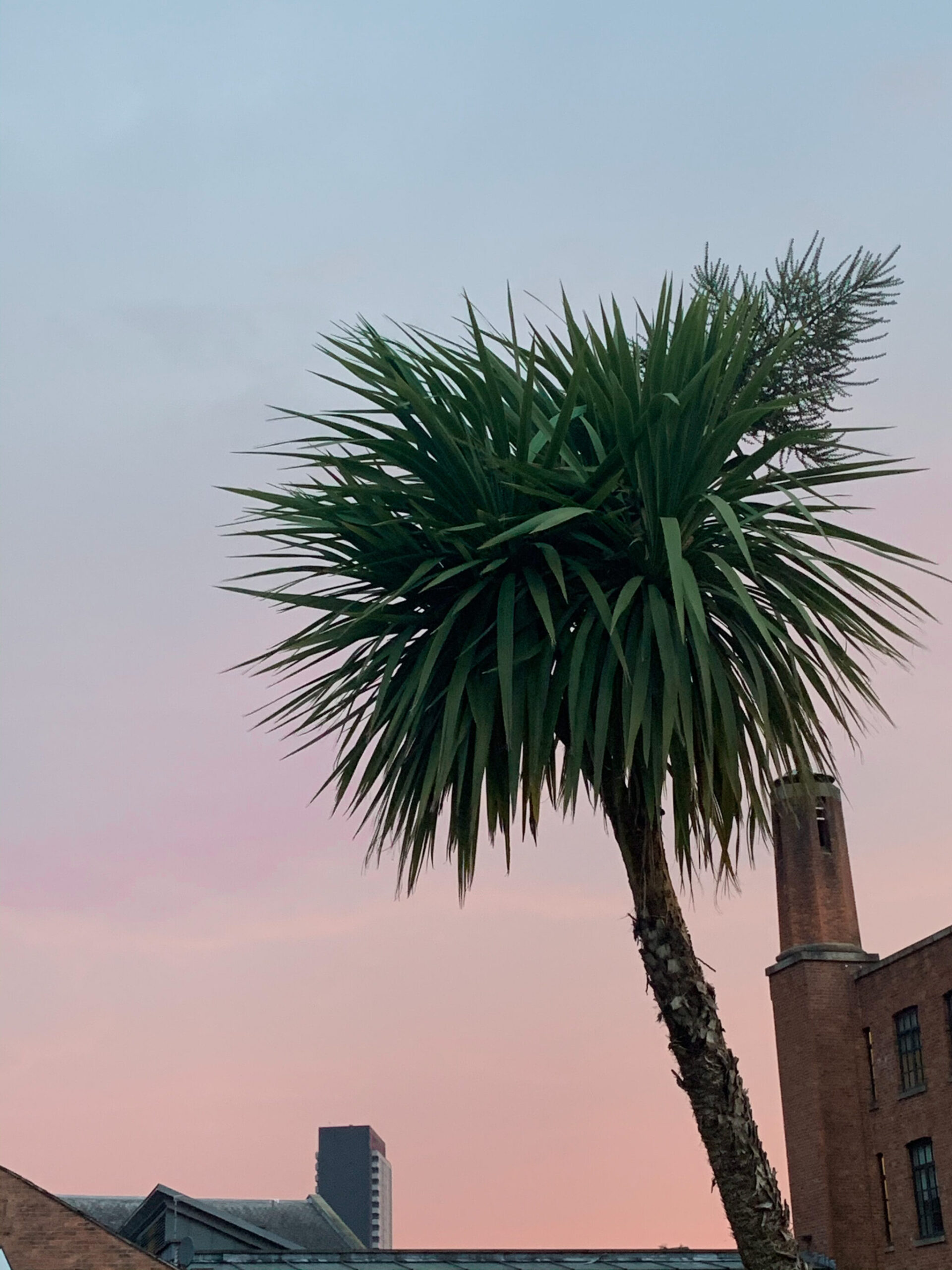 pink sunset skies Manchester palm tree