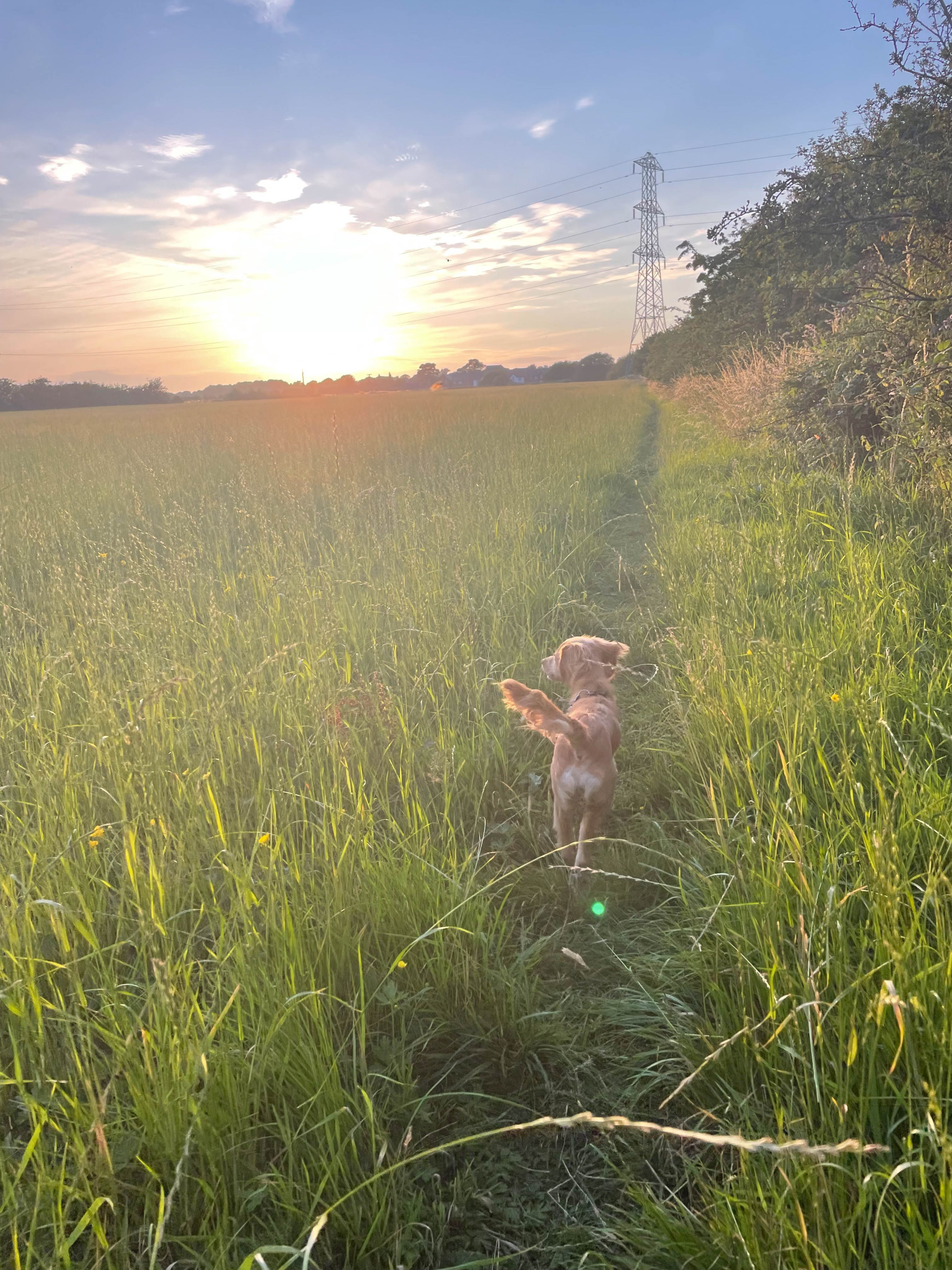 Cockapoo puppy walking countryside sunset